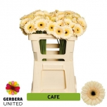 Gerbera mini Cafe (pakis 20 tk)