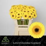 Gerbera mini Chanti*30