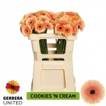 Gerbera mini Cookies N Cream