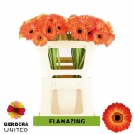 Gerbera mini Flamazing*20