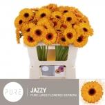 Gerbera mini Jazzy*20