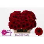 Gerbera mini Masserati*20