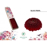 Gerbera mini Pompon Blackpearl*25
