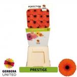 Gerbera Prestige*25