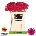 Gerbera Renegade (pakis 10 tk)
