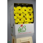 Gerbera Wake Up*15