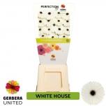 Gerbera White House (pakis 15 tk)