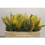 Grevillea Yellow Amit 50cm