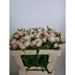 Helichrysum 50cm