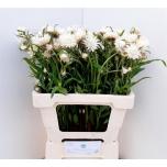 Helichrysum 60cm