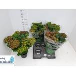 Hydrangea Hortensia 15cm Roosa/Valge topelt mix