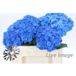 Hydrangea Hortensia Bela Blue 50cm