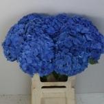 Hydrangea Hortensia Bela Blue 60cm