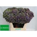 Hydrangea Hortensia Charl Blue 75cm