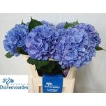Hydrangea Hortensia Elbtal Blue 75cm
