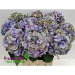 Hydrangea Hortensia Elbtal Classic 80cm