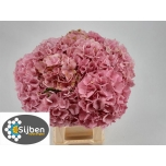 Hydrangea Hortensia Elbtal Pink 80cm