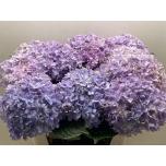 Hydrangea Hortensia Inspire 75cm