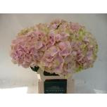 Hydrangea Hortensia Jersey 60cm