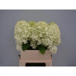 Hydrangea Hortensia Limelight 80cm
