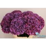 Hydrangea Hortensia Magic Pink Ruby 60cm