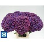 Hydrangea Hortensia Magic Rubyred 70cm