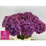 Hydrangea Hortensia Mon Amour Paars 60 cm