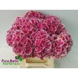 Hydrangea Hortensia My Rio 40cm
