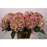 Hydrangea Hortensia Rodeo Classic 60cm