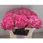 Hydrangea Hortensia Rodeo Red 70cm