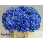 Hydrangea Hortensia Royal Parade 60cm
