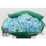 Hydrangea Hortensia sinine 60cm