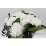Hydrangea Hortensia Schneeball 60cm