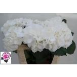 Hydrangea Hortensia Schneeball 75cm