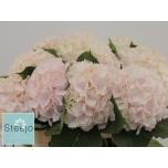 Hydrangea Hortensia Sweet Verena 80cm