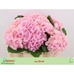Hydrangea Hortensia Verena 50cm
