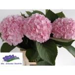 Hydrangea Hortensia Verena 70cm