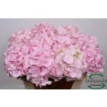 Hydrangea Hortensia Verena 75cm