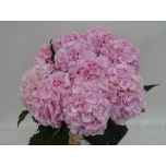 Hydrangea Hortensia Verena 80cm