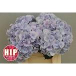 Hydrangea Hortensia Verena Blue 40cm