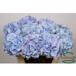 Hydrangea Hortensia Verena Blue 75cm