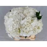 Hydrangea Hortensia White Verena 40cm