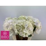 Hydrangea Hortensia White Verena 60cm