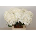 Hydrangea Hortensia White Verena 80cm