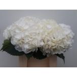Hydrangea Hortensia Schneeball 40cm