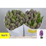 Hyacinthus Hüatsint Minos