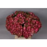 Hydrangea Hortensia Magic Greenfire 60cm