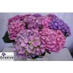 Hydrangea Hortensia Mag Opal 65cm