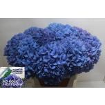 Hydrangea Hortensia Pimpernel 80cm