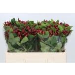Hypericum Naistepuna 50cm Mag Cherry